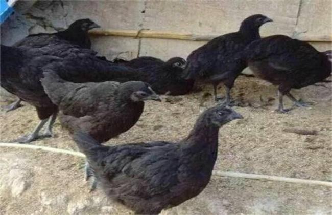 五黑鸡养殖前景