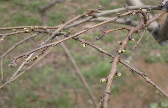 怎么给桃树浇水