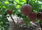 百香果的采收及保存方法