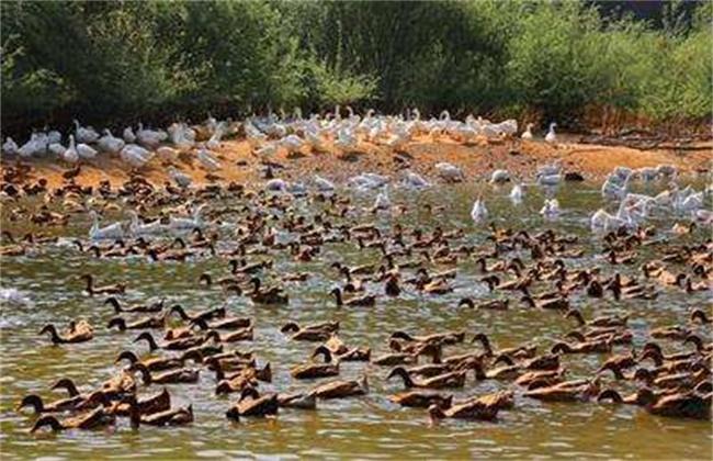 金定鸭的养殖管理技术