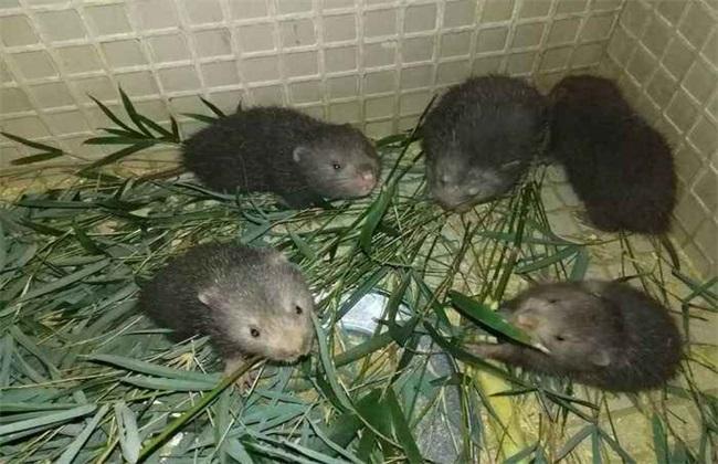 如何提高竹鼠繁殖率