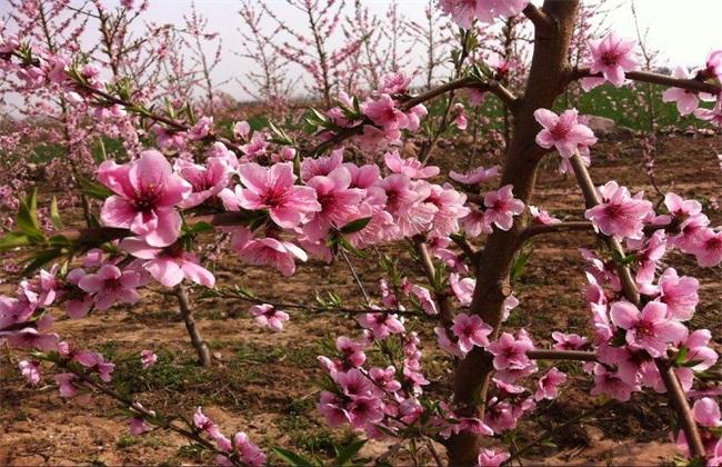 桃树 花期 可以浇水吗