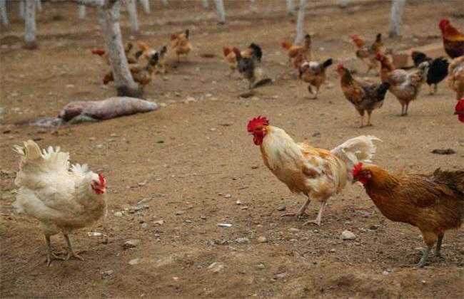 夏季养鸡如何防暑