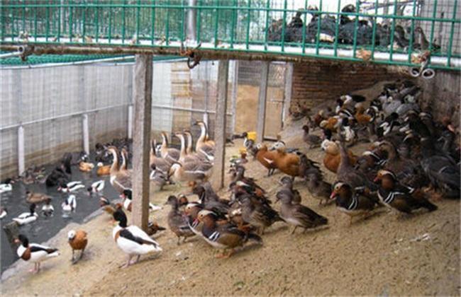野鸭养殖技术