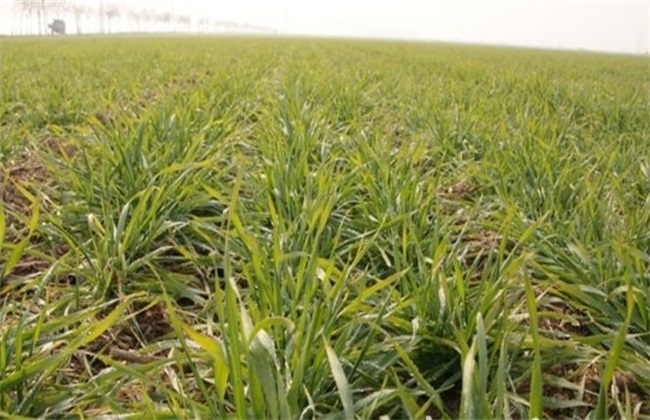小麦 病虫害 防治