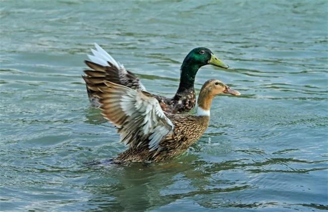 三穗鸭养殖方法