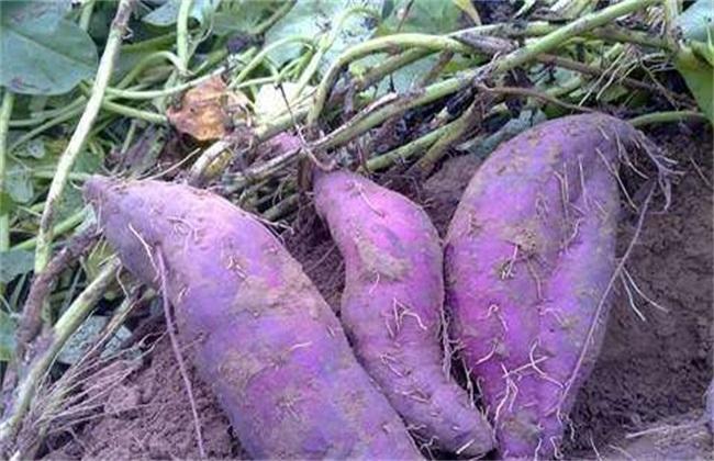 紫薯种植效益如何