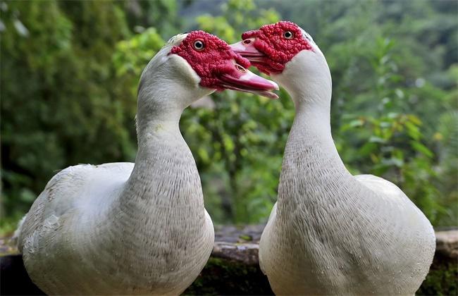 番鸭换羽期管理技术