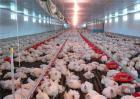白羽肉鸡养殖技术