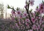 桃树花期可以浇水吗