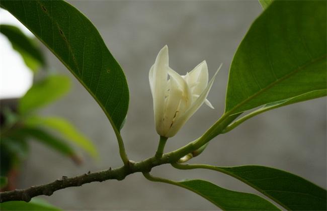 黄桷兰 繁殖 方法