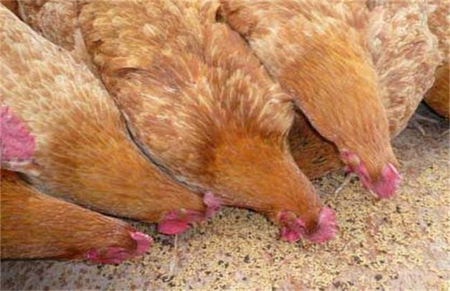 虫子鸡养殖赚钱吗