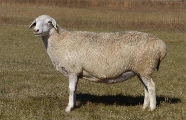母羊 流产 防治措施