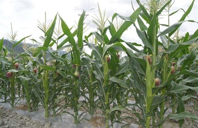 玉米 种肥选择 注意事项