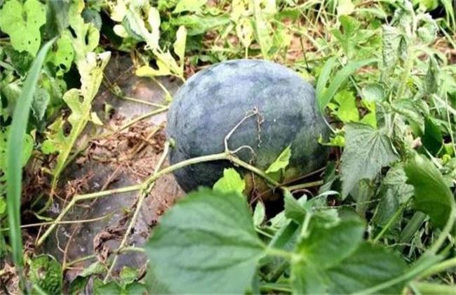 西瓜 施肥管理 技术