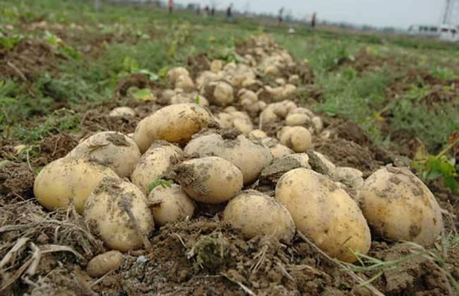 怎样提高马铃薯种植效益
