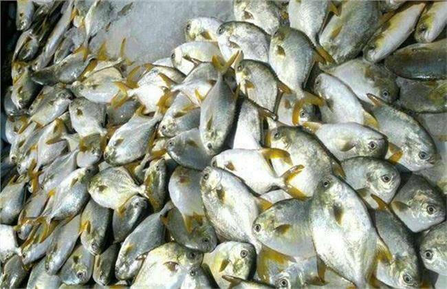 鲳鱼 多少钱 一斤
