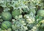 西瓜的施肥管理技术