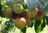 荔枝种植的注意事项