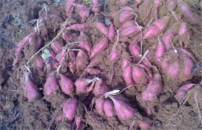 紫薯的育苗技术
