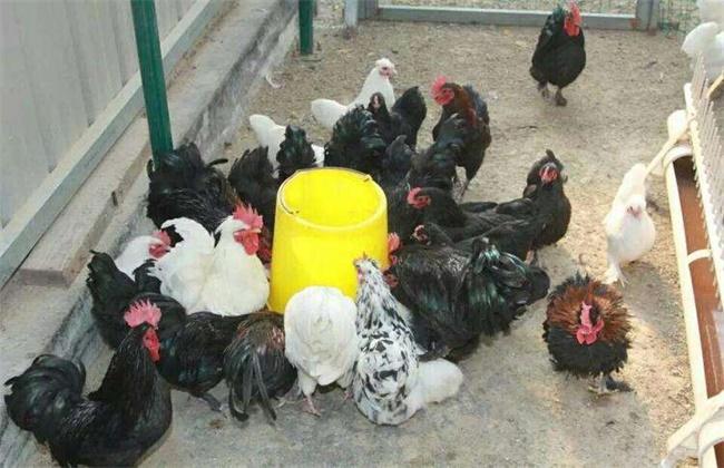 元宝鸡多少钱一只