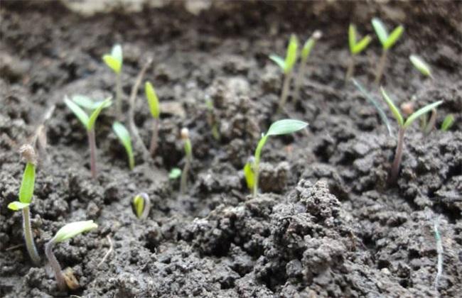 圣女果 种子种植 方法