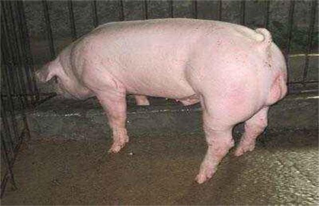约克猪饲养要点
