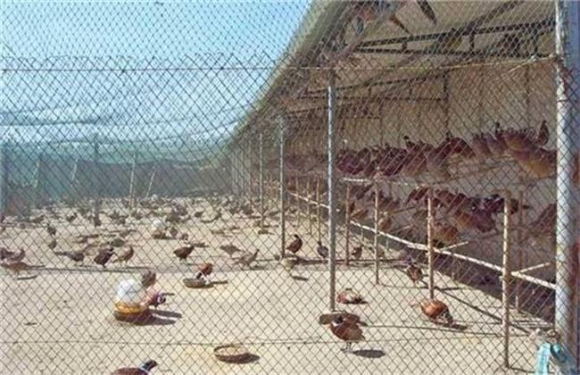 七彩山鸡养殖赚钱吗