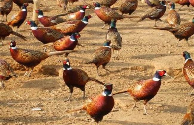 七彩山鸡养殖注意事项