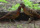 竹鸡养殖前景