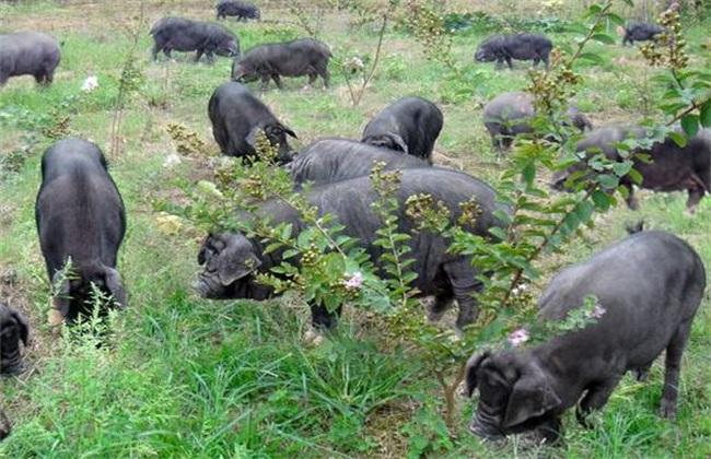 10头黑猪养殖成本盈利