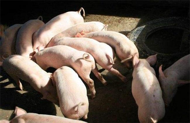 养几头猪一年能挣5万 养猪 养殖风险