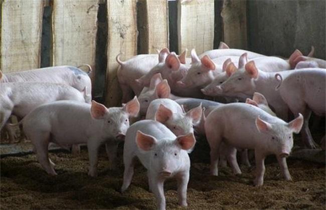 养几头猪能挣5万 养猪 养殖风险