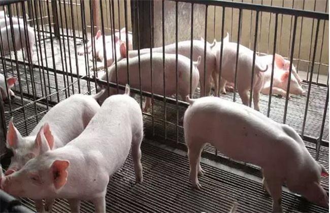 保育猪饲养管理要点