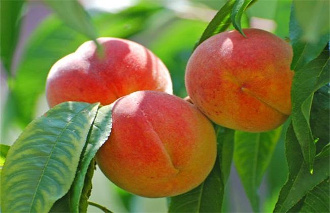 新品种桃苗有哪些