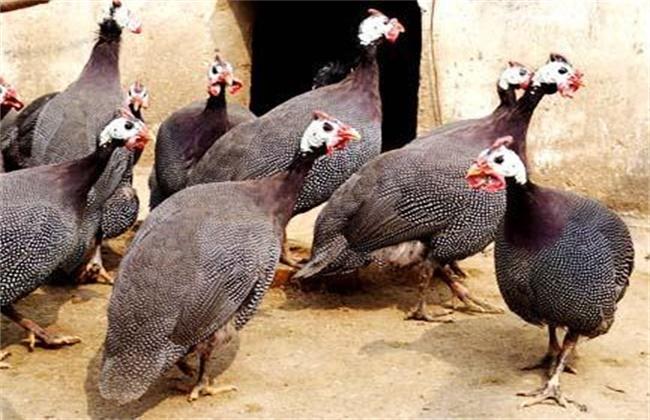 珍珠鸡养殖要注意些什么