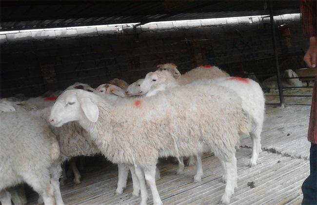 养10只母羊一年的利润