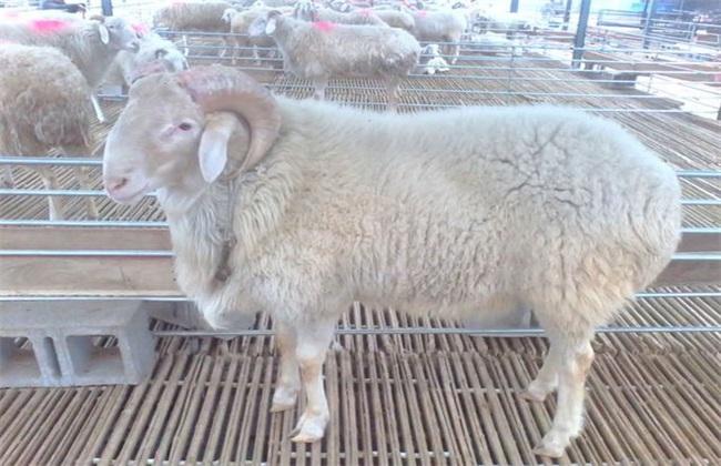 养10只母羊一年的利润 成本 效益