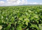 大豆种植的注意事项