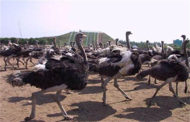 养20只鸵鸟需投多少钱