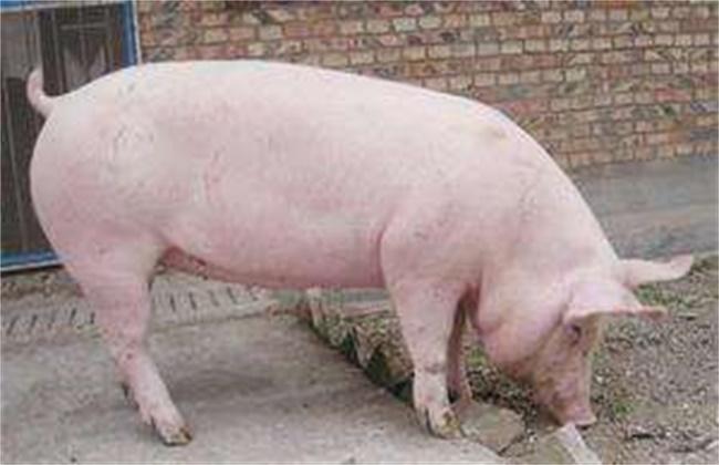 长白猪和大白猪区别