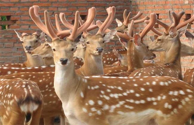 养20头鹿一年赚多少钱