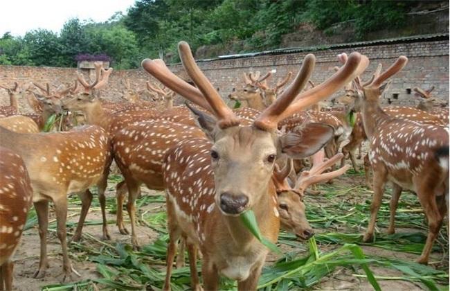 养20头鹿 前景 成本 效益