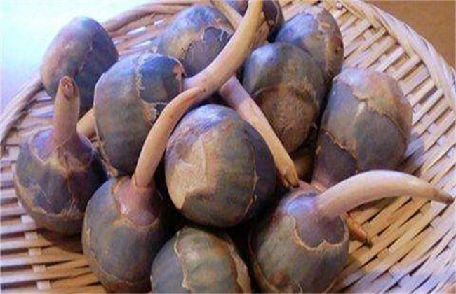 慈菇的常见品种与图片