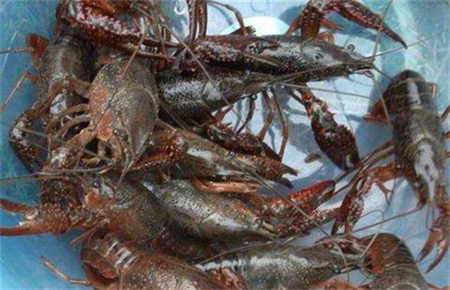 养10亩龙虾赚多少钱