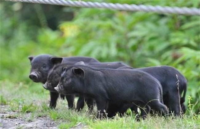 藏香猪养殖方法