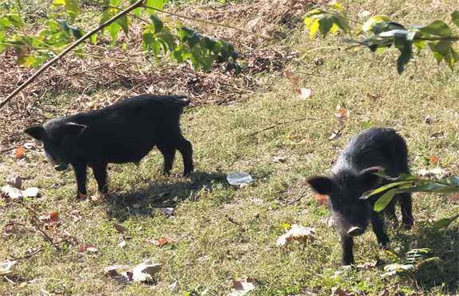 藏香猪多少钱一斤