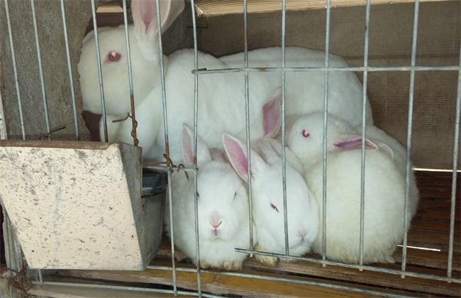 养100只兔子 养殖成本 效益