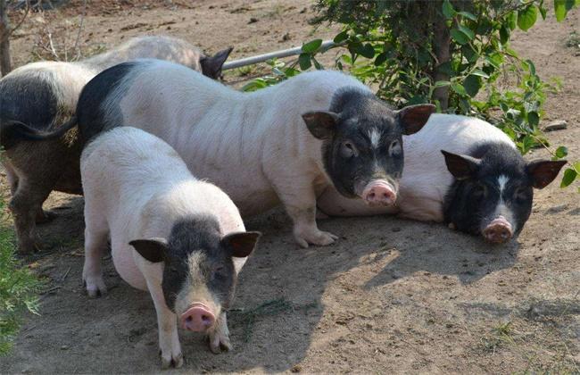 巴马香猪养殖方法