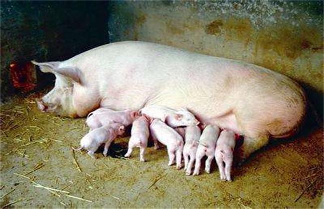 大白猪饲养要点